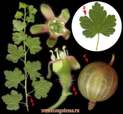 Крыжовник отклонённый, или обыкновенный, европейский — Grossularia reclinata (L.) Mill.