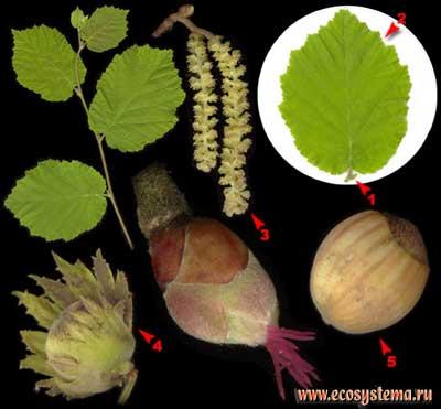 Лещина обыкновенная, или орешник — Corylus avellana L.