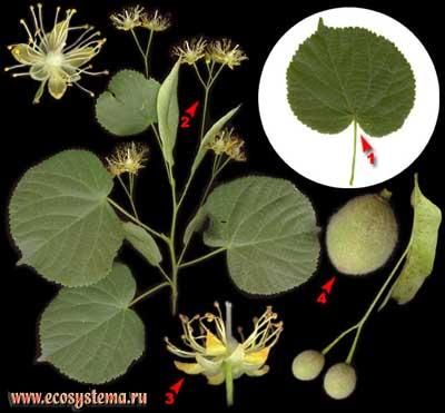 Липа крупнолистная, или широколистная — Tilia platyphyllos Scop.