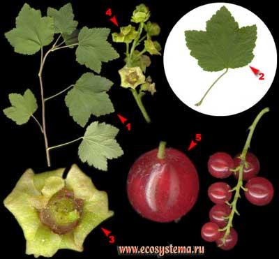 Смородина обыкновенная, или садовая, красная — Ribes rubrum L. (R. sativum Syme, R. vulgare Lam. nom illegit., R. sylvestre Mert. et Koch).