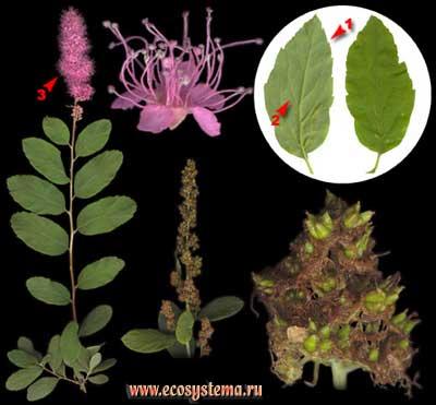 Спирея, или таволга, иволистная — Spiraea salicifolia L.