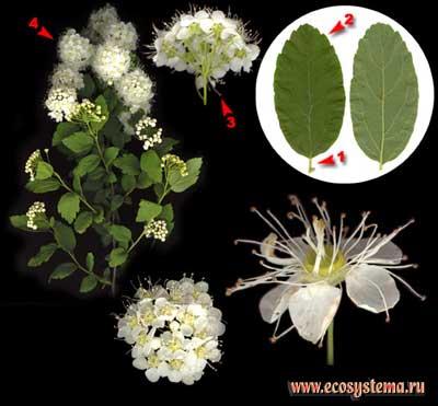 Спирея, или таволга, японская — Spiraea japonica L. fil.