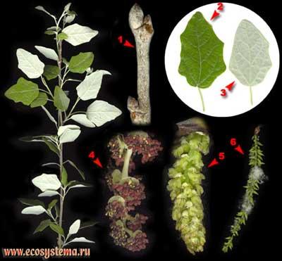 Тополь белый, или серебристый — Populus alba L.