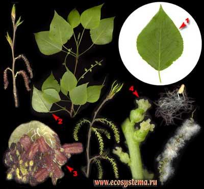 Тополь чёрный, или осокорь — Populus nigra L.