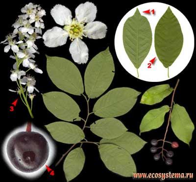 Черёмуха обыкновенная — Padus avium Mill. (Р. racemosa (Lam.) Gilib., P. asiatica Kom.).