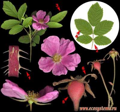 Шиповник майский, или роза майская, или коричная — Rosa majalis Herrm. (R. cinnamomea L.)