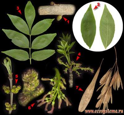 Ясень пенсильванский — Fraxinus pennsylvanica Marsh.