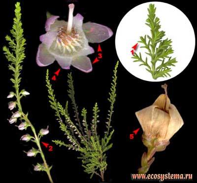 Вереск обыкновенный — Calluna vulgaris (L.) Hill