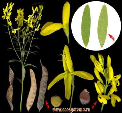 Дрок красильный — Genista tinctoria L..