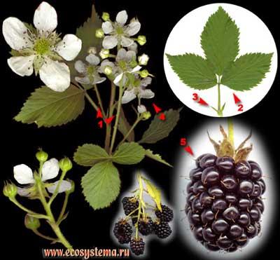 Ежевика сизая, или рубус сизый, или ожина — Rubus caesius L.