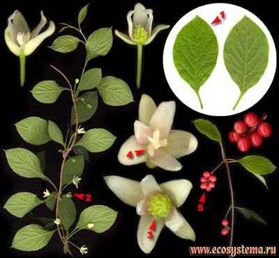 Лимонник китайский — Schisandra chinensis (Turcz.) Baill.