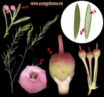 Подбел обыкновенный — Andromeda polifolia L.