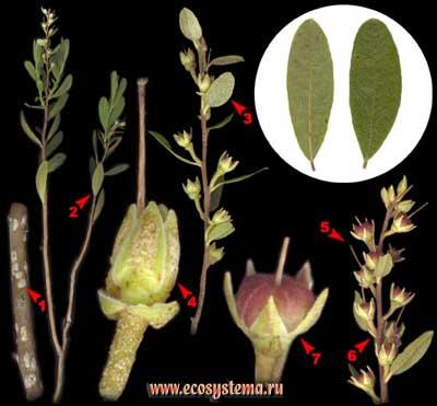 Хамедафна болотная, или болотный мирт — Chamaedaphne calyculata (L.) Moench