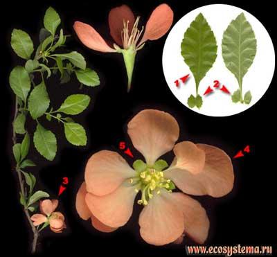Хеномелес японский, или японская айва — Chaenomeles japonica (Tunb.) Lindl.