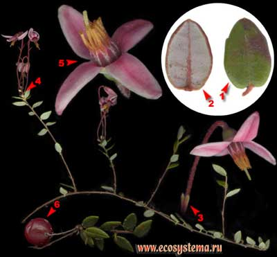 Клюква болотная — Oxycoccus palustris Pers. (Oxycoccus quadripetalus Gilib., Vaccinium oxycoccos L.)