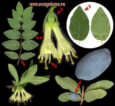 Жимолость алтайская — Lonicera altaica Pall. (L.pallassi Ledeb.)