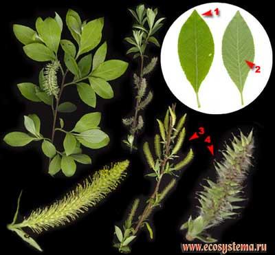 Ива пепельная, или серая — Salix cinerea L.