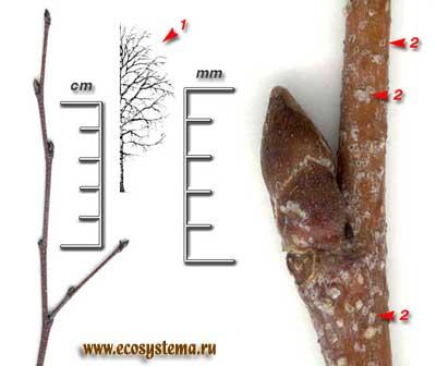 Берёза бородавчатая, или повислая — Betula pendula Roth (Вetula verrucosa Ehrh.)