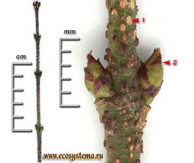Бересклет бородавчатый — Euonymus verrucosa Scop.