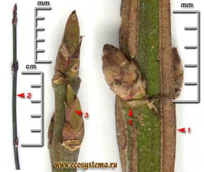 Бересклет европейский — Euonymus europaea L.
