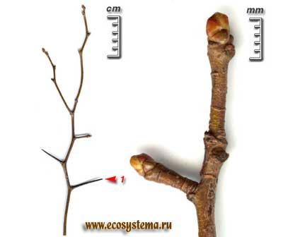 Боярышник обыкновенный, или колючий — Crataegus oxyacantha L.