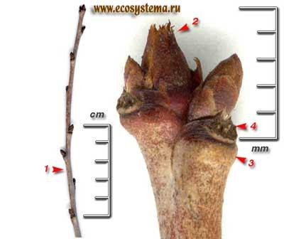 Вишня обыкновенная, или садовая — Cerasus vulgaris Mill.