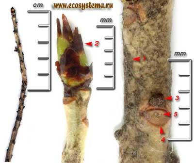 Волчеягодник обыкновенный, или волчье лыко — Daphne mezereum L.