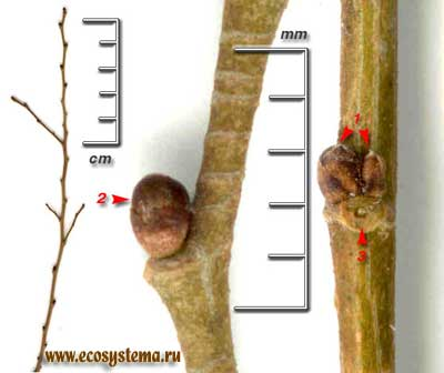 Вяз приземистый, или низкий — Ulmus pumila L. (U. pinnato-ramosa Dieck ex Koehne)