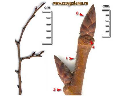 Вяз шершавый, или ильм — Ulmus glabra Huds. (U. elliptica С. Koch, U. scabra Mill., U. sukaczevii Andron.)