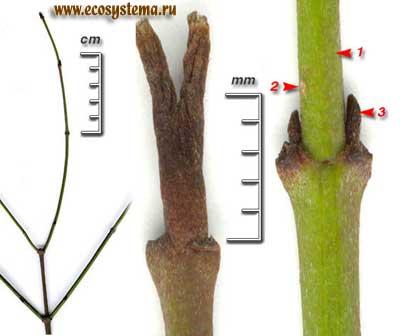 Дёрен кроваво-красный, или свидина кроваво-красная, или сибирская — Swida sanguinea (L.) Opiz (Thelycrania sanguinea (L.) Fourr.)
