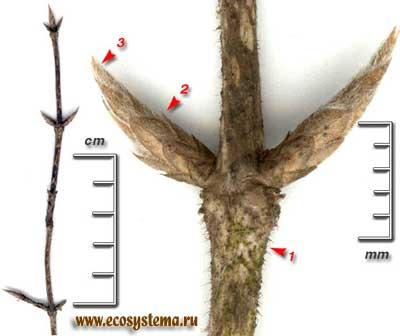 Жимолость обыкновенная, или лесная — Lonicera xylosteum L.