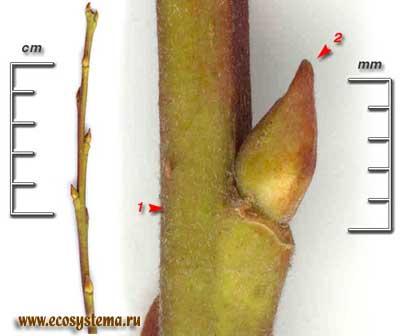 Ива козья, или бредина — Salix caprea L.