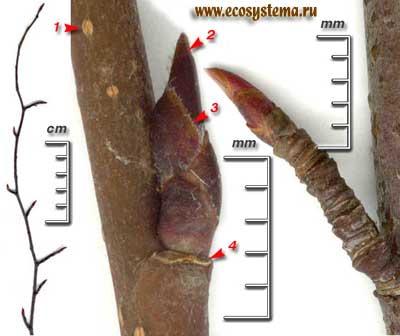 Ирга колосистая — Amelanchier spicata (Lam.) С. Koch.