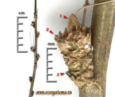 Карагана древовидная, или жёлтая акация — Caragana arborescens Lam.