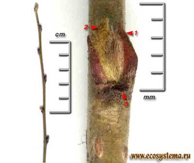 Кизильник черноплодный — Cotoneaster melanocarpus Fisch. ex Biytt.