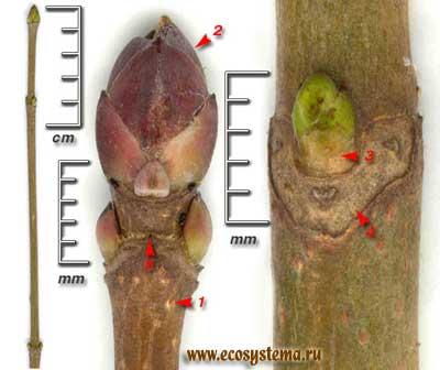 Клён остролистный, или платановидный — Acer platanoides L.