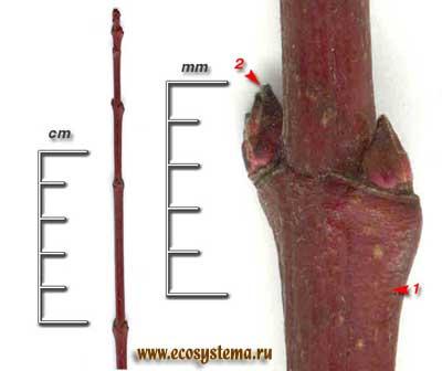 Клён приречный, или Гиннала — Acer ginnala Maxim.