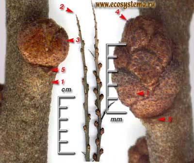 Облепиха крушиновидная — Hippophae rhamnoides L.