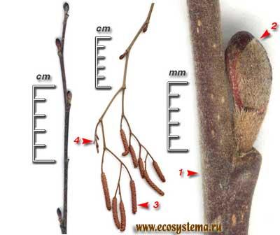 Ольха серая — Alnus incana (L.) Moench