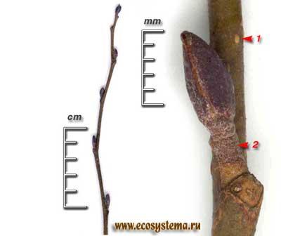 Ольха чёрная, или клейкая — Alnus glutinosa (L.) Gaertn.