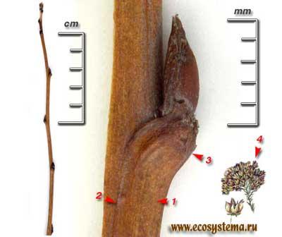 Пузыреплодник калинолистный — Physocarpus opulifolius (L.) Maxim.