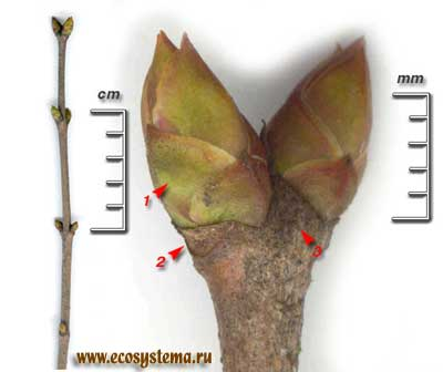 Сирень обыкновенная — Syringa vulgaris L.