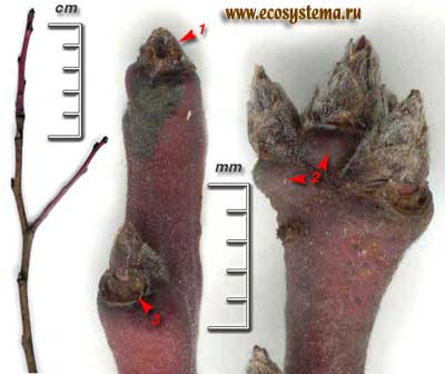 Слива домашняя — Prunus domestica L.