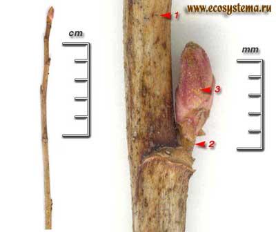Смородина чёрная — Ribes nigrum L.