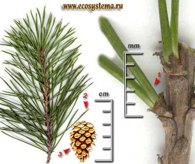 Сосна обыкновенная — Pinus sylvestris L.