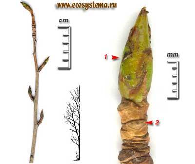 Тополь бальзамический — Populus balsamifera L.