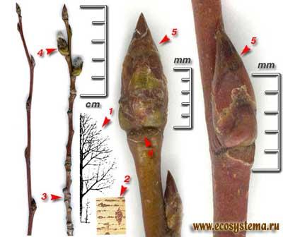 Тополь дрожащий, или осина — Populus tremula L.