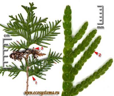 Туя западная — Thuja occidentalis L.