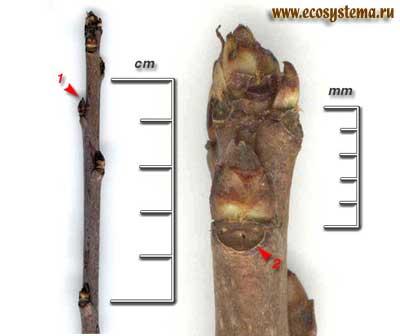 Черёмуха виргинская — Padus virginiana (L.) Mill.