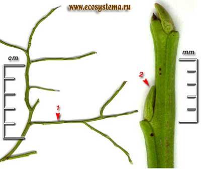 Черника — Vaccinium myrtillus L.